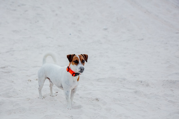 Jack russell terrier felice sulla sabbia nell'ora legale