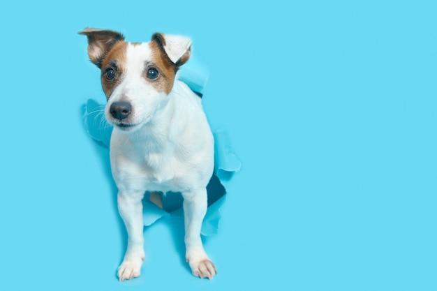 Jack russell terrier sfonda la carta blu, fa capolino dal buco. spazio vuoto per il testo. il cane isolato.