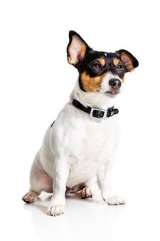 Jack russell terrier su bianco
