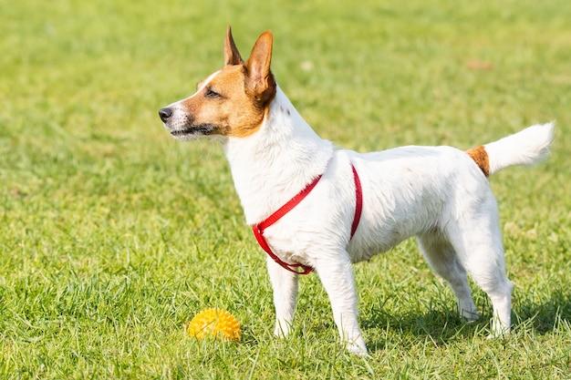 Jack russell terrier sull'erba