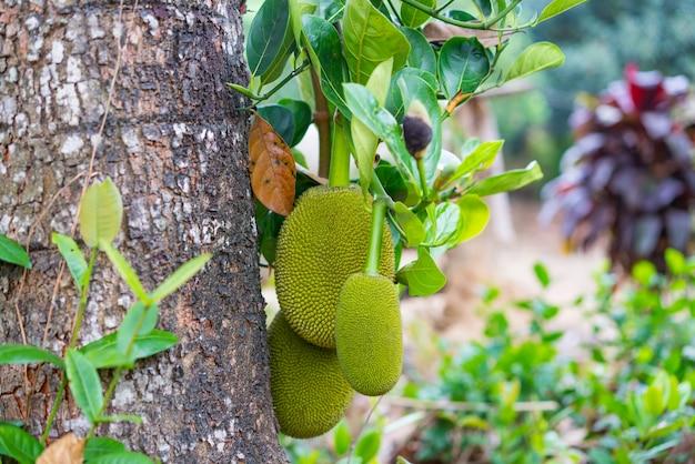 Jackfruit tree e giovani jackfruits
