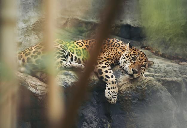 Jaguar appoggiato sulla roccia