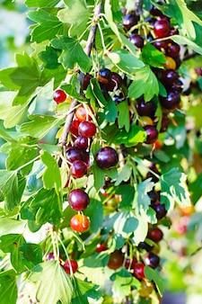 Jostaberry è un cespuglio di frutti incrociati che coinvolge il ribes nero, uva spina