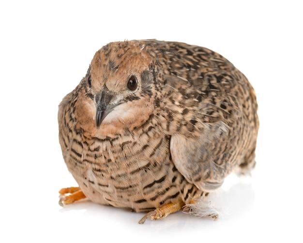 King quail in studio