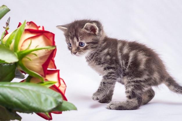Kitten osserva da vicino il bouquet di rose rosse