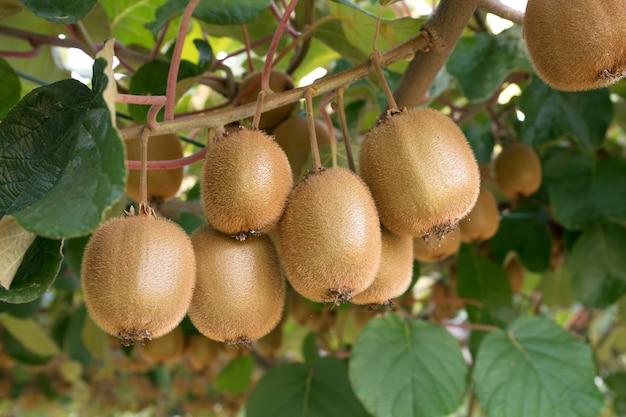 Kiwi fresco sulla crescita dell'albero. kiwi actinidia