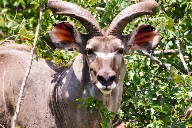 Kudu in piedi davanti alle piante verdi