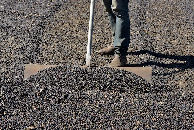 L'agricoltore sparge i chicchi di caffè per asciugarsi