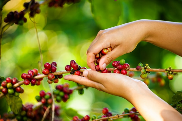 L'agricoltore sta raccogliendo i chicchi di caffè nel terreno coltivabile a chiang rai tailandia