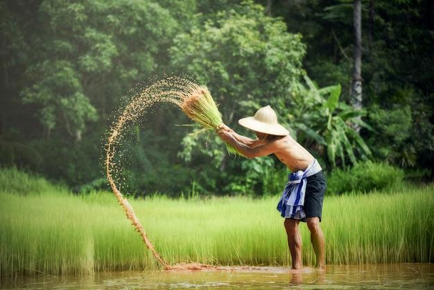 L'agricoltore tailandese / agricoltore dell'uomo ha colpito il bambino del riso che tiene a disposizione nell'agricoltura agricola contadina dell'uomo del giacimento del riso per piantare i terreni coltivabili del campo verde