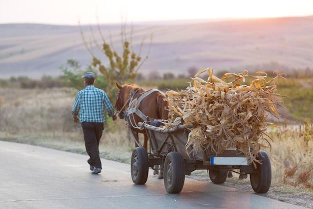 L'agricoltore trasporta le foglie di mais essiccate su un carro trainato da cavalli al tramonto