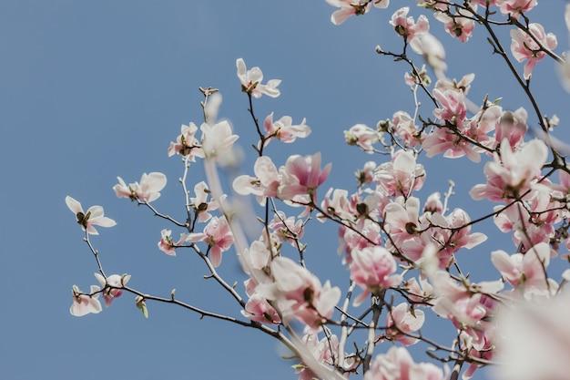 L'albero del fiore di rosa della magnolia fiorisce, si chiude sul ramo, all'aperto.