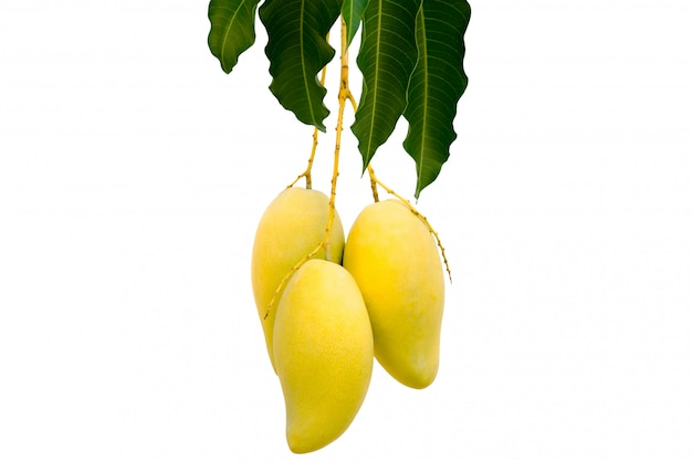 L'albero di mango cespuglio