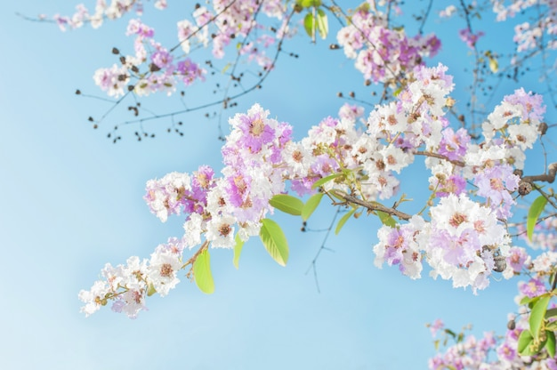 L'albero di tromba rosa di bellezza fiorisce sul fondo del cielo blu