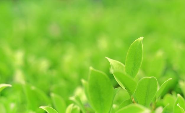 L'albero verde della natura va sulla luce vaga del fondo di mattina. fresco sfondo naturale.