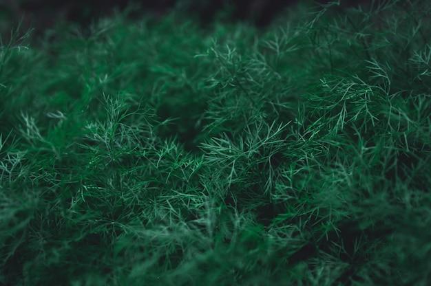 L'aneto verde fresco lascia la priorità bassa del reticolo. natura sfondo tono verde scuro