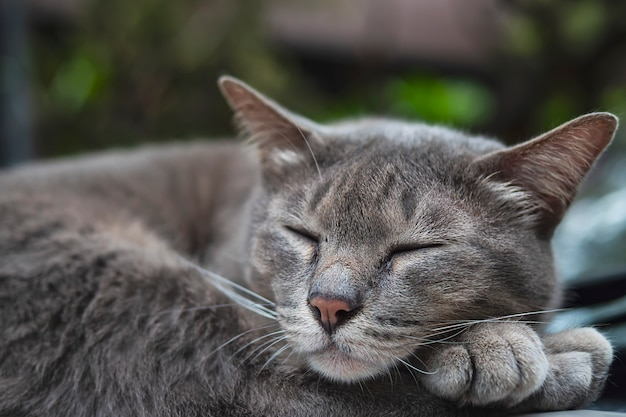 L'animale domestico domestico tailandese del gatto adorabile di sonno fa un pisolino su un'automobile, animale domestico
