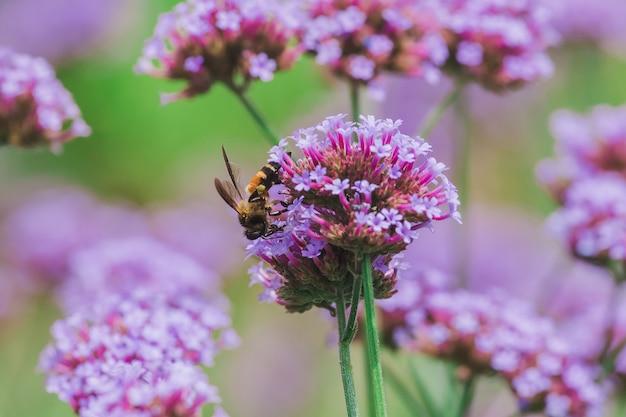 L'ape su verbena è in fiore e bellissima nella stagione delle piogge.