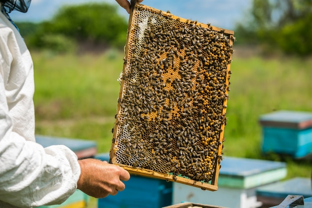 L'apicoltore considera le api nei favi con una lente d'ingrandimento.