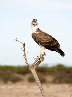 L'aquila marziale nel parco nazionale di etosha, namibia. una grande aquila originaria del sudafrica