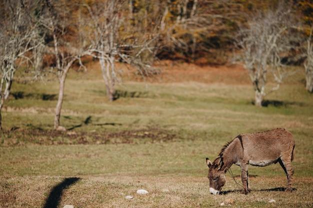 L'asino marrone mangia l'erba in un campo vicino alla foresta