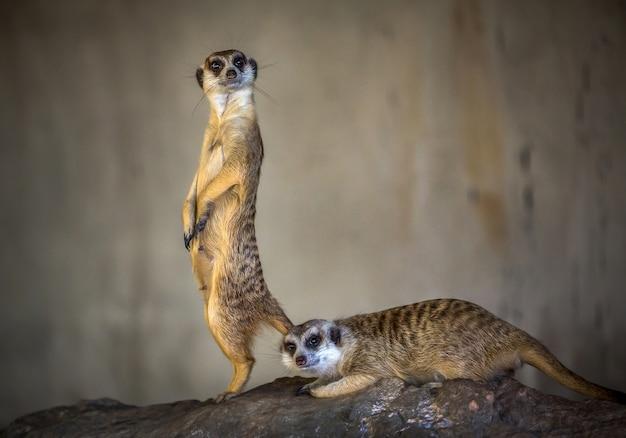 L'azione della bella meerkat è in allerta.
