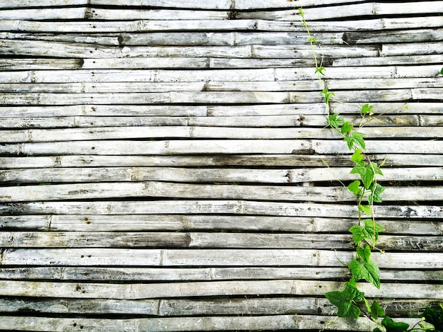 L'edera verde che ondeggia su vecchio legno di bambù scuro del pavimento rustico della casa ha spazio della copia per fondo