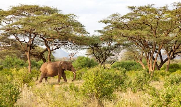 L'elefante cammina attraverso la giungla in mezzo a molti cespugli