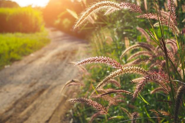 L'erba fiorisce con il tramonto per fondo