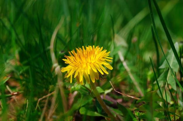 L'erba fresca con le gocce di rugiada si chiude su