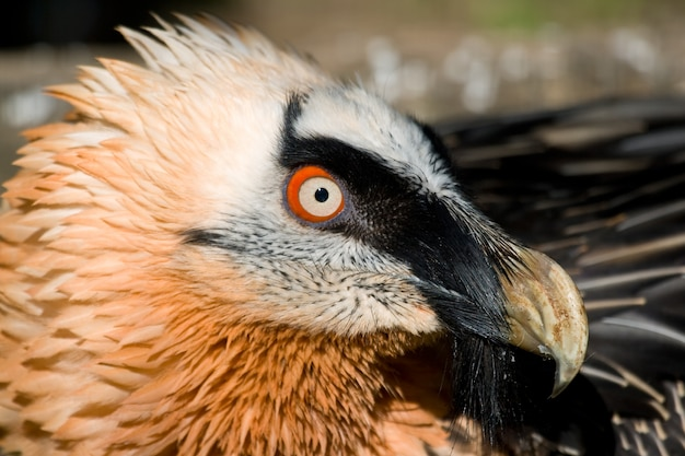 L'esemplare del gipeto (gypaetus barbatus) posa placidamente