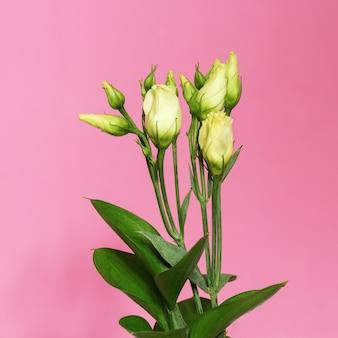 L'eustoma bianco del fiore fiorisce su un fondo rosa luminoso con lo spazio della copia.