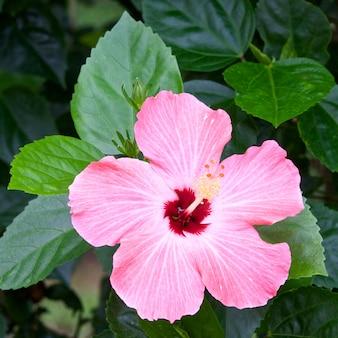 L'ibicus rosa sta fiorendo