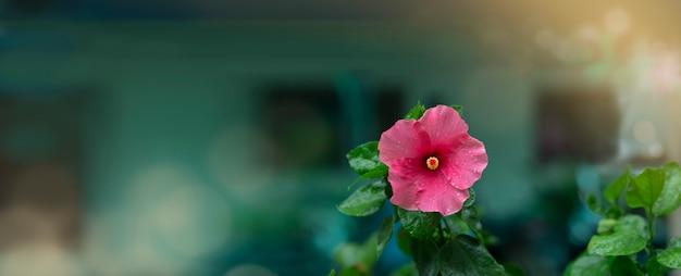 L'ibisco rosa fiorisce nell'umore vago dopo la pioggia