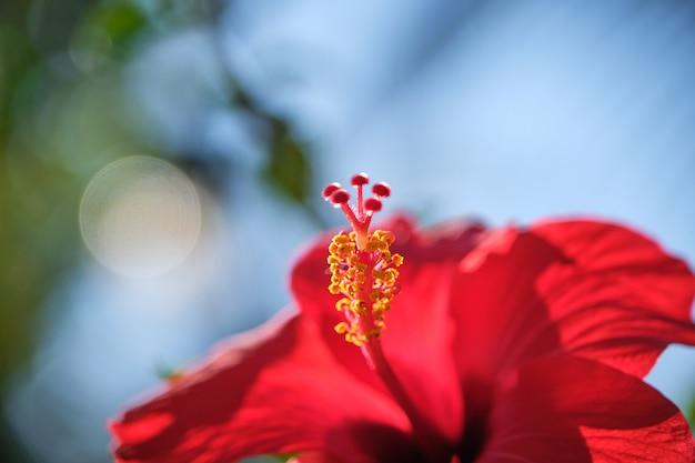 L'ibisco rosso fiorisce la rosa cinese, l'ibisco cinese, l'ibisco hawaiano in giardino tropicale