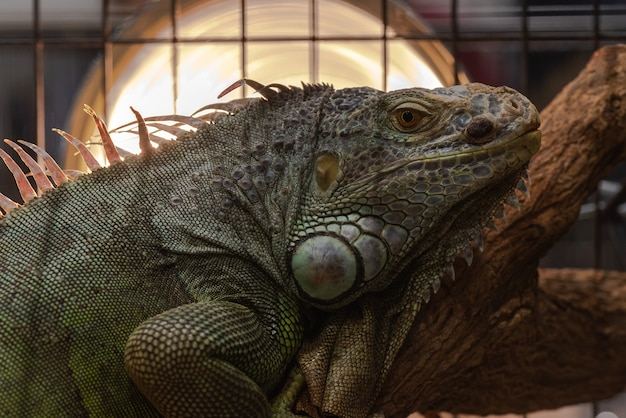 L'iguana è un rettile lucertola nel genere iguana nella famiglia dell'iguana