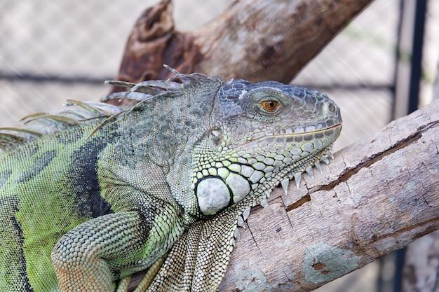 L'iguana verde riposa sul legno nella gabbia allo zoo