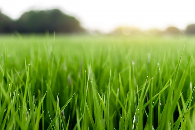 L'immagine è sfocata, i campi di riso con il sole arancione sono belle immagini.