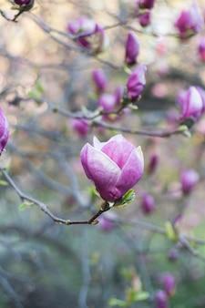 L'immagine molle del fuoco della magnolia sbocciante fiorisce nel tempo di primavera.