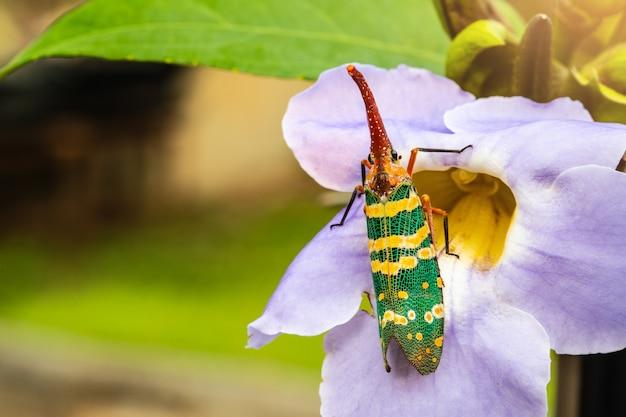 L'insetto fulgoride (planthopper) sul fiore.