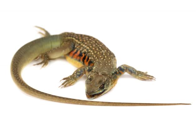 L'isolato dell'iguana dell'asia o delle lucertole della farfalla su bianco