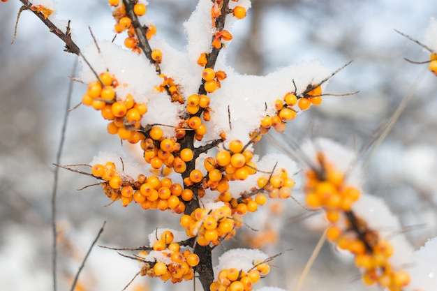 L'olivello spinoso si ramifica sotto la neve su un fondo della foresta dell'inverno. bacca biologica con grandi benefici, usata in medicina, vegetarismo.