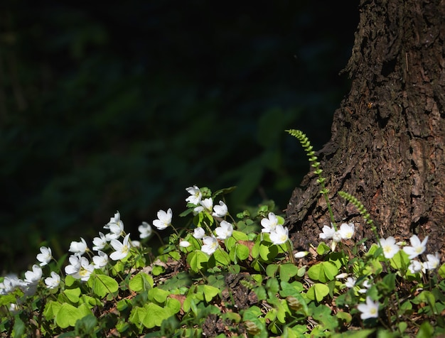 L'ombra pomeridiana sotto la corona dell'albero sul prato fiorito. fiori bianchi della foresta sotto un albero.