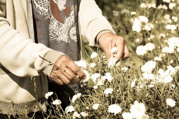 L'operaio mantiene il crisantemo bianco depositato