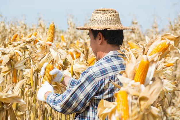 L'operaio maschio dell'agricoltore analizza la pannocchia di granturco dolce nel campo