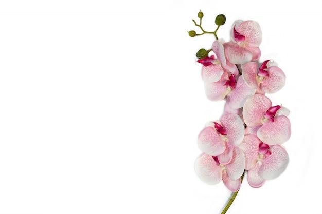 L'orchidea bianca rosa fiorisce sullo spazio bianco per far fronte del fondo