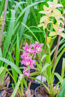 L'orchidea esotica gialla e pnk fiorisce in giardino botanico
