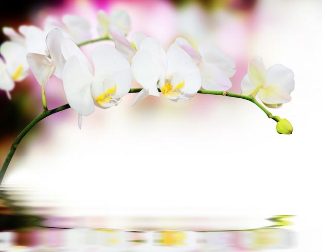 L'orchidea fiorisce la priorità bassa con la riflessione