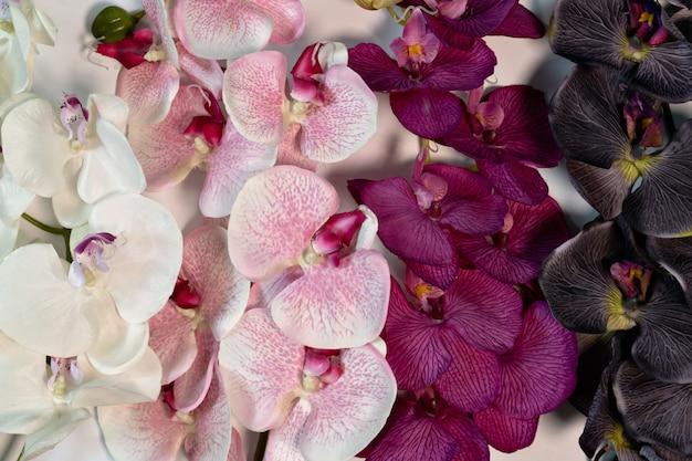 L'orchidea viola porpora bianca rosa fiorisce su fondo bianco c