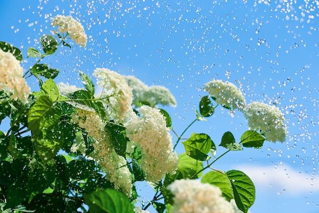 L'ortensia fiorisce in piccole gocce di acqua contro un cielo blu